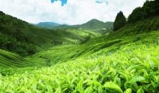 ¿Qué es el Té Blanco Agujas de Plata ?